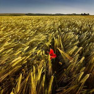 Baranjska žita  - © Zoran Osrečak